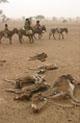 Dead livestock in Chad